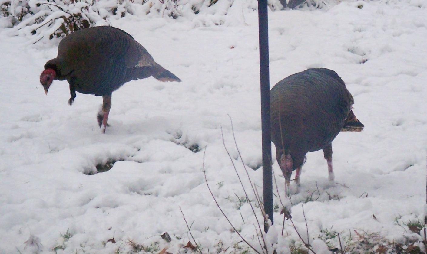 Click image for larger version  Name:11.14.10 turkeys 2.JPG Views:63 Size:543.7 KB ID:59536