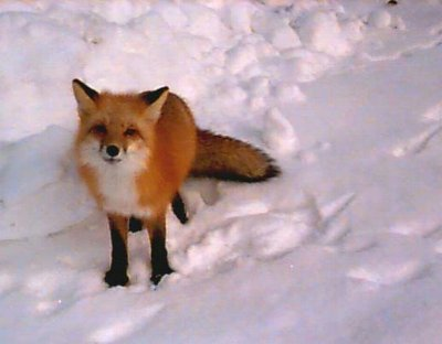 Click image for larger version  Name:redfox.jpg Views:102 Size:19.3 KB ID:6586